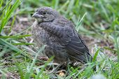 A healthy puffy female house finch rests in the grass poster