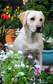shot of a pretty labrador amongst the flowers poster