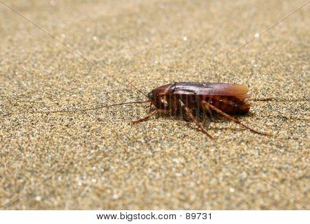 Cockroach On Beach