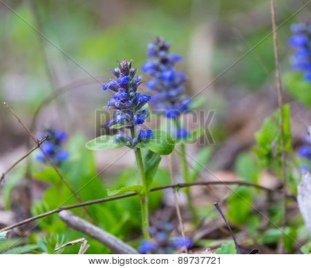 Blooming Bugle Plant
