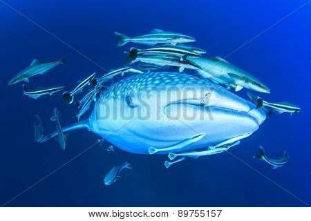 Whale Shark in ocean with Cobia fish and Remoras