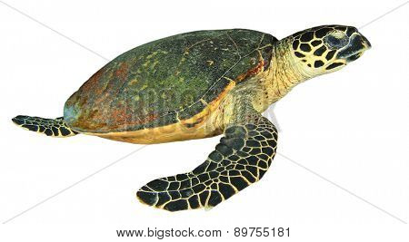 Hawksbill Sea Turtle isolated on white background