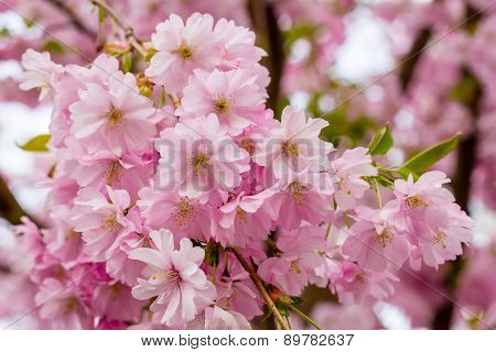 Pink Sakura Flower Blooming