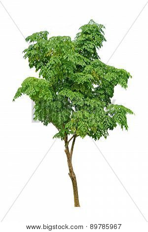 isolated neem tree on a white background (Die cutting)