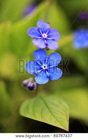 Two Blue Flowers Of Omphalodes Verna Close Up