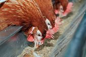 Three red chicken feed from the trough. Agriculture Business poster