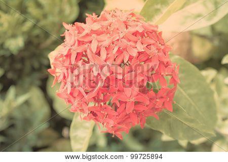 Rubiaceae flower in  the garden , vintage style background