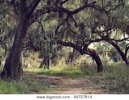 Old Live Oak Trees with Spanish Moss Hanging Down