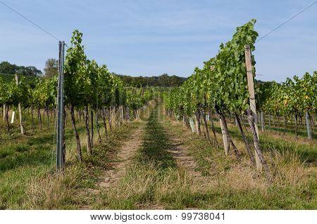 Wine Grape Plantations At A Vineyard