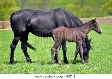 Horses Foal Baby
