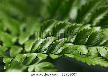 Green leaves on dark surface, closeup