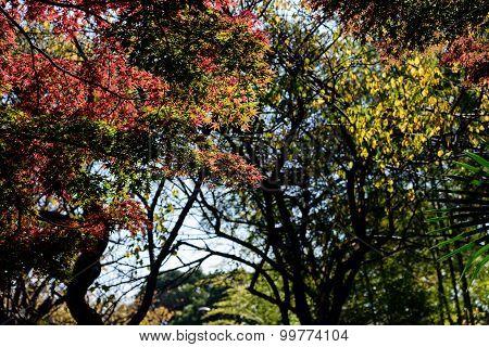 Japan Autumn Leaves