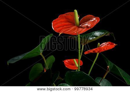 Red Anthurium, also known as tailflower, flamingo flower and laceleaf