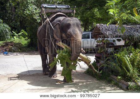 Portrait Of Asian Elephant
