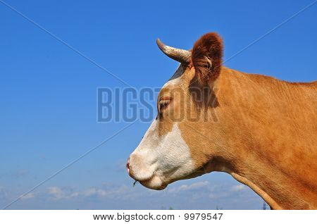 Head of a cow.