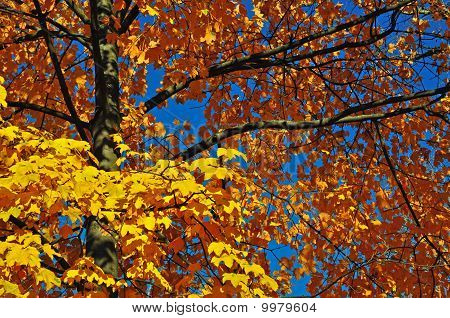 Autumn branches of a maple.