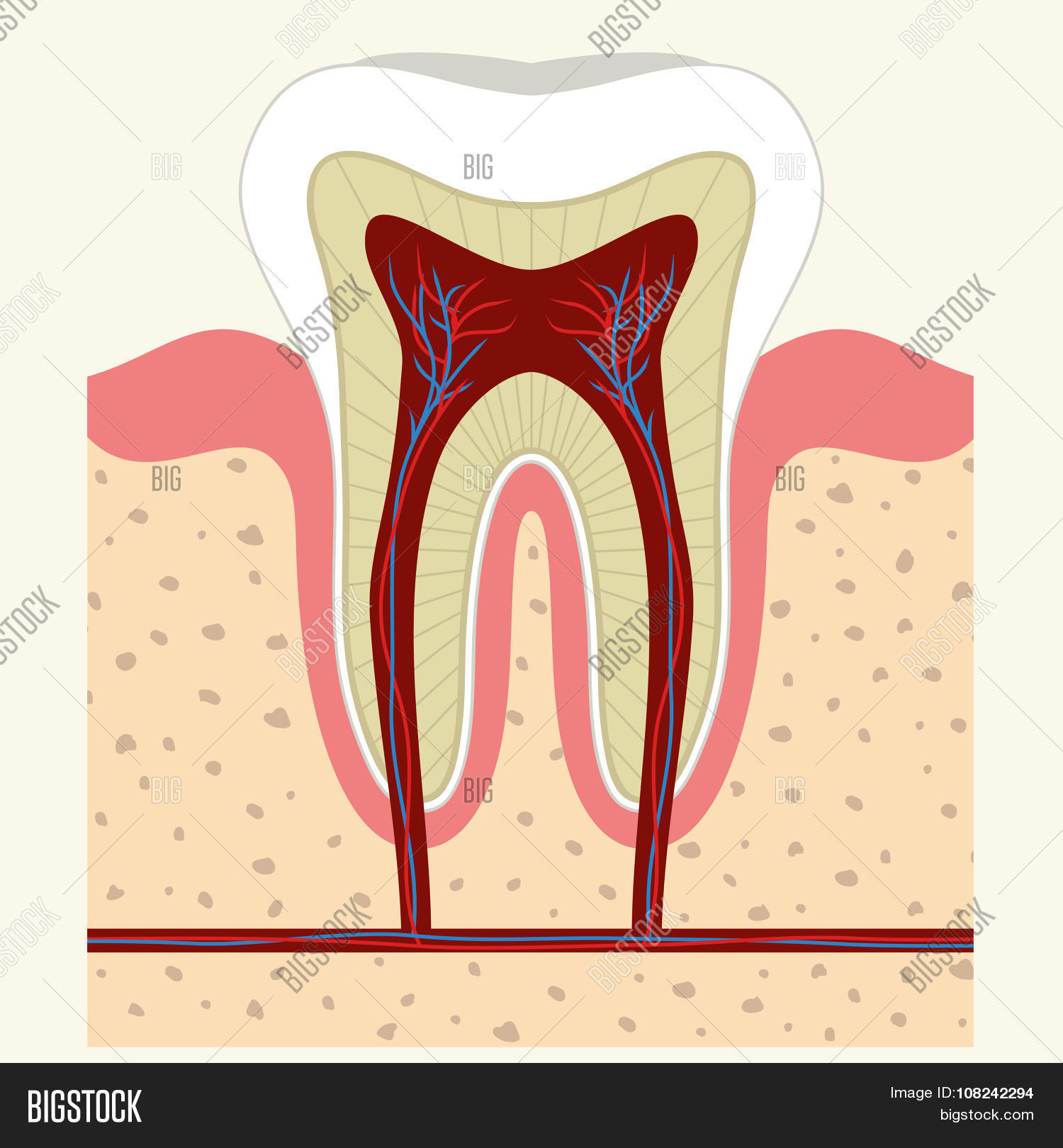 Human Tooth Gum Vector & Photo (Free Trial) | Bigstock