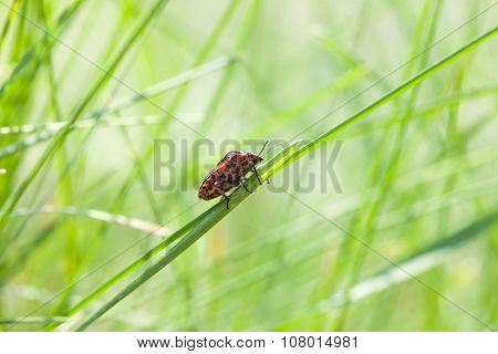 Shield Bug On Meadow
