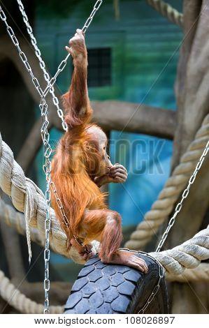 Bornean Orangutan Cub