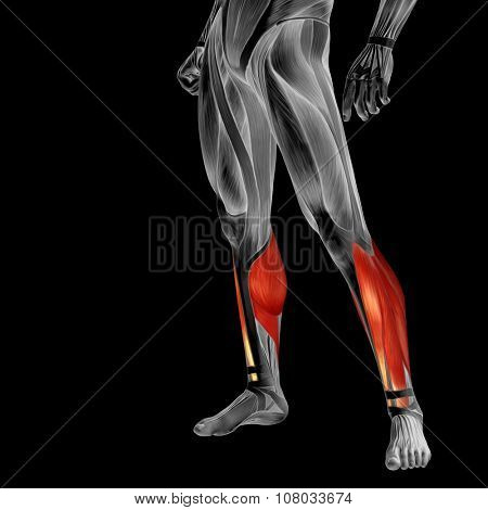 Concept or conceptual 3D human lower leg anatomy or anatomical and muscle isolated on black background