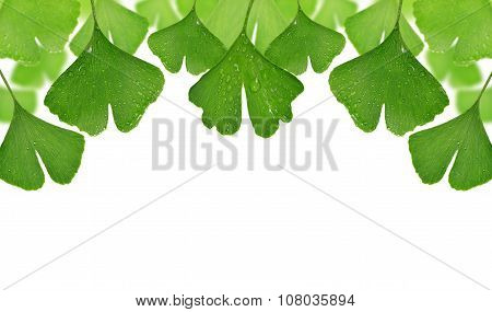 ginkgo biloba leaves with dew drops