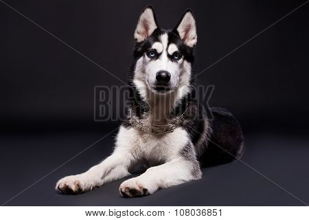 Studios Shot Of Beautiful Siberian Husky Dog On Dark Background