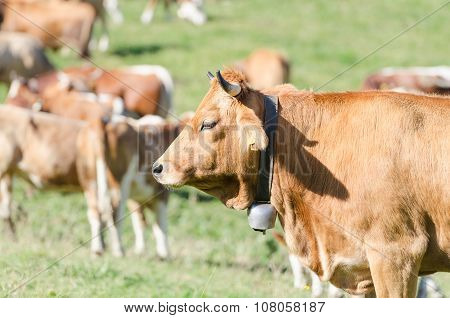 Head Profile Portrait Of Red Ginger Cattle