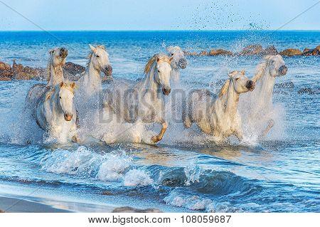 Herd of White Camargue Horses running through water in sunset light.