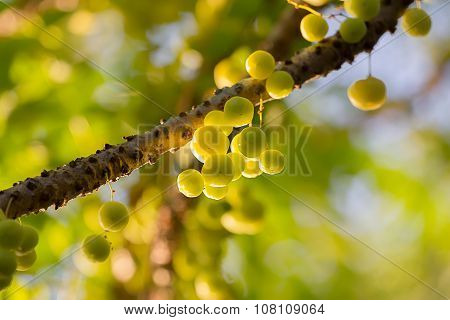 Phyllanthus acidus known as the Otaheite gooseberry Malay gooseberry Tahitian gooseberry country gooseberry star gooseberry West India gooseberry damsel grosella (in Puerto Rico) jimbilin (in Jamaica) damsel (in Grenada) karamay (in the Northern Philippin