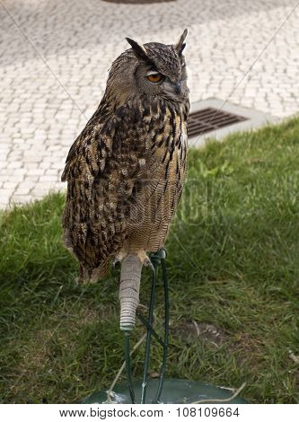 Falconry Eagle-owl