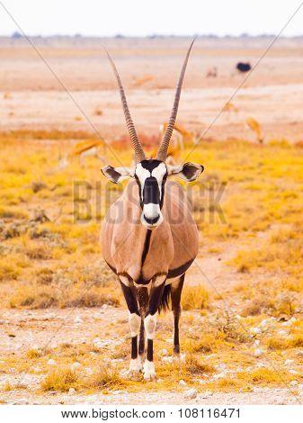 Gemsbok antelope in the yellow grass