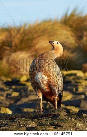 Ruddy Headed Goose