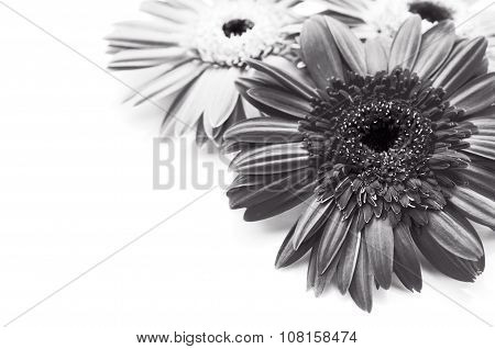 Gerbera Daisy, Black And White Tone