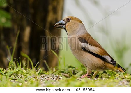 Hawfinch Bird Sitting