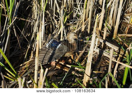 duck in nature grass camouflage open wing