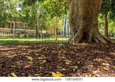 Fallen leaves beneath fig tree
