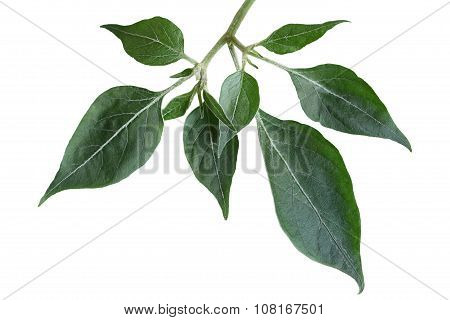 Hot pepper leaf on branch isolated on white background poster