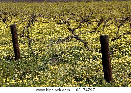 Spring Blooms In The Barossa Valley
