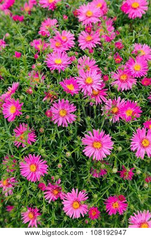 Pink New York Aster Flowers