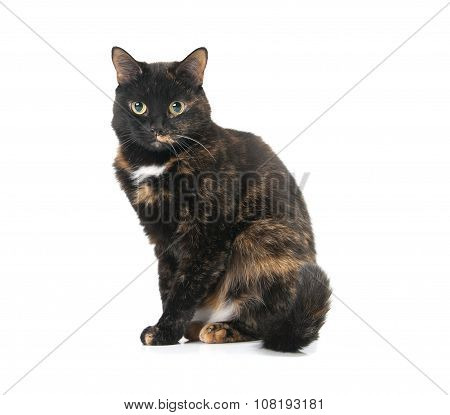 Beautiful Graceful Cat Sits On A White Background..