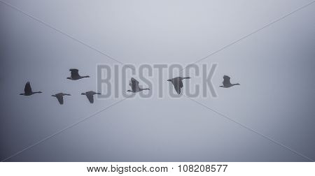 Canadian Geese in the fog.