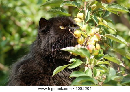 beautiful persian brown cat and apples tree poster