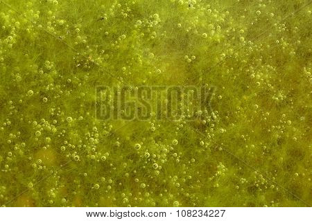 Green Algae With Air Bubbles