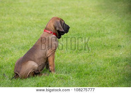 Young Puppy Of Fila Brasileiro (brazilian Mastiff)