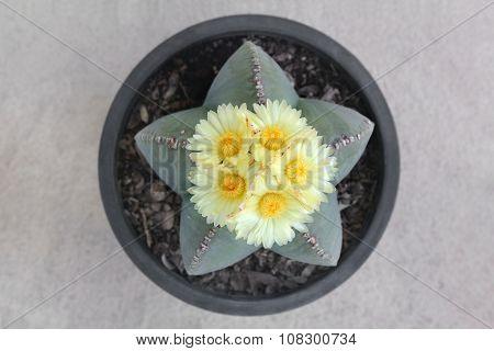 Astrophytum myriostigma Cactus with blooming yellow flowers.