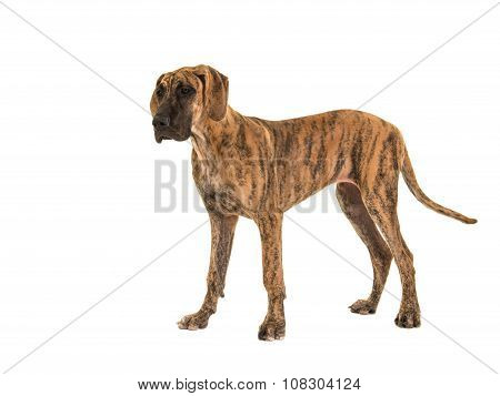 Standing great dane dog