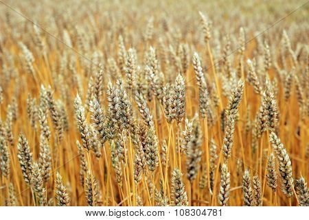Yellow rye field receding into the distance poster