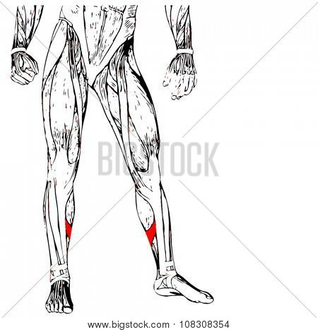 Vector concept or conceptual 3D human lower leg anatomy or anatomical and muscle isolated on white background