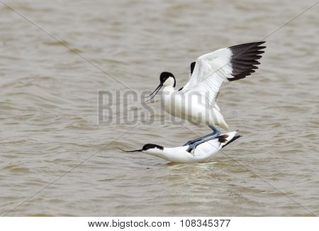 Mating Avocets