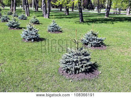 Alley of the young planted seedlings blue spruce poster